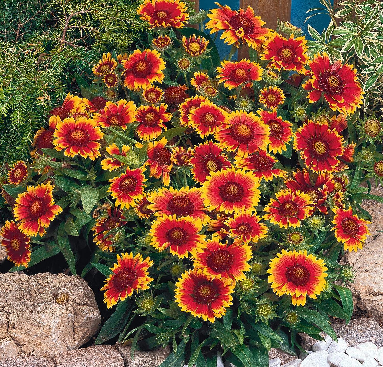 3 x Gaillardia 'Arizona Sun' Large Plug Plants Hardy Perennial by Leegillard