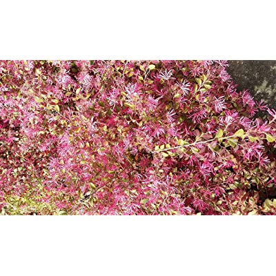 (1 Gallon) Daruma LOROPETALUM-Dwarf, Compact Shrub with Gorgeous Burgandy Foliage : Garden & Outdoor