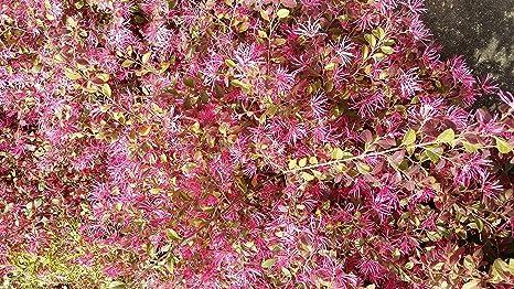 Amazon 1 gallon pot ruby loropetalum chinese fringe 1 gallon pot quotrubyquot loropetalum chinese fringe flower mightylinksfo