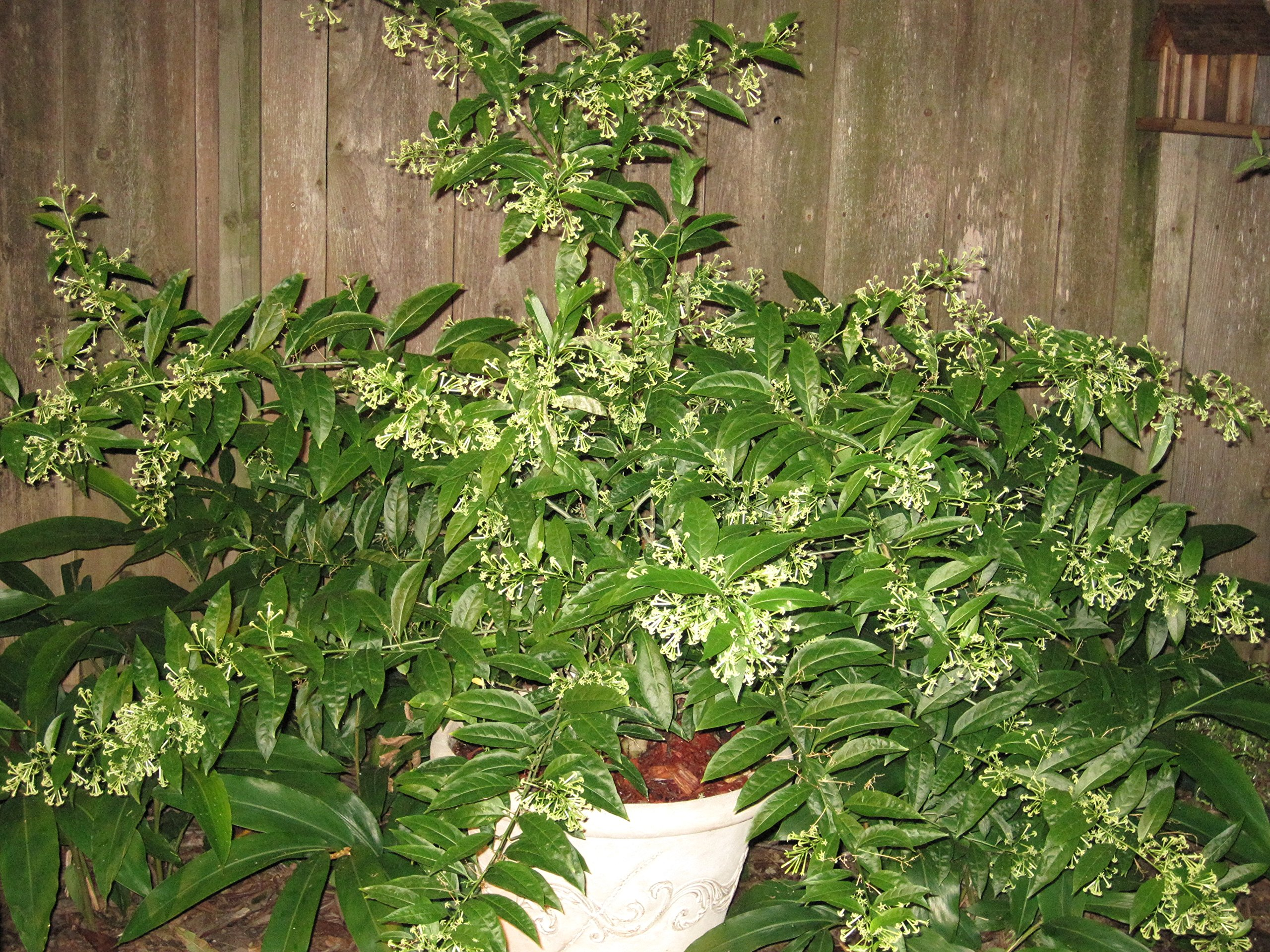 2 Nicely-Sized 4 inch Pots of Fragrant Night Blooming Jasmine