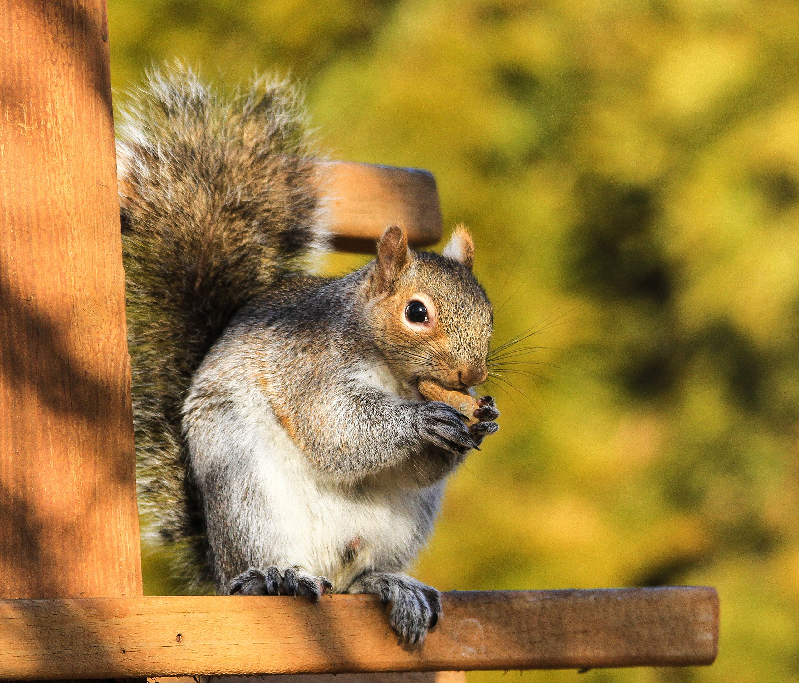 Virginia Peanuts Bulk Inshell Animal Peanuts for Squirrels, Birds, Deer, Pigs and a Wide Variety of Wildlife, 50 Lbs Total/Raw Peanuts/Bulk Nuts/Blue Jays/Cardinals/Woodpeckers/Parrots/Doves by WAKEFIELD PEANUT COMPANY A TRADITION OF EXCELLENCE SINCE 1965 (Image #2)