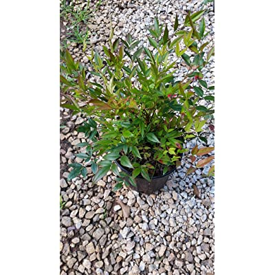 (1 Gallon) NANDINA 'Gulfstream' Compact evergreeen, Striking Foliage, Vibrant Fall Colors : Garden & Outdoor