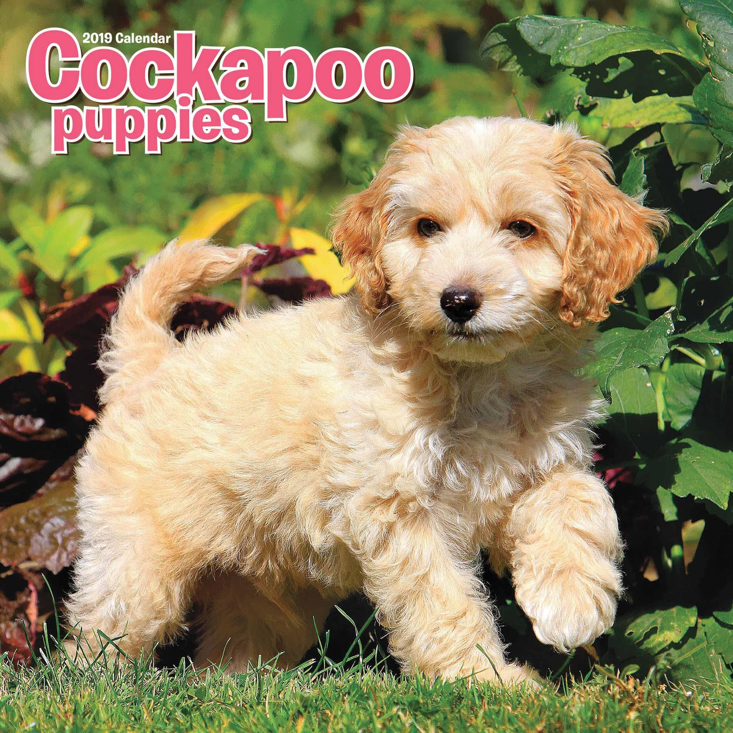 COCKAPOO PUPPIES M 2019: 9781786667694: Books - Amazon ca