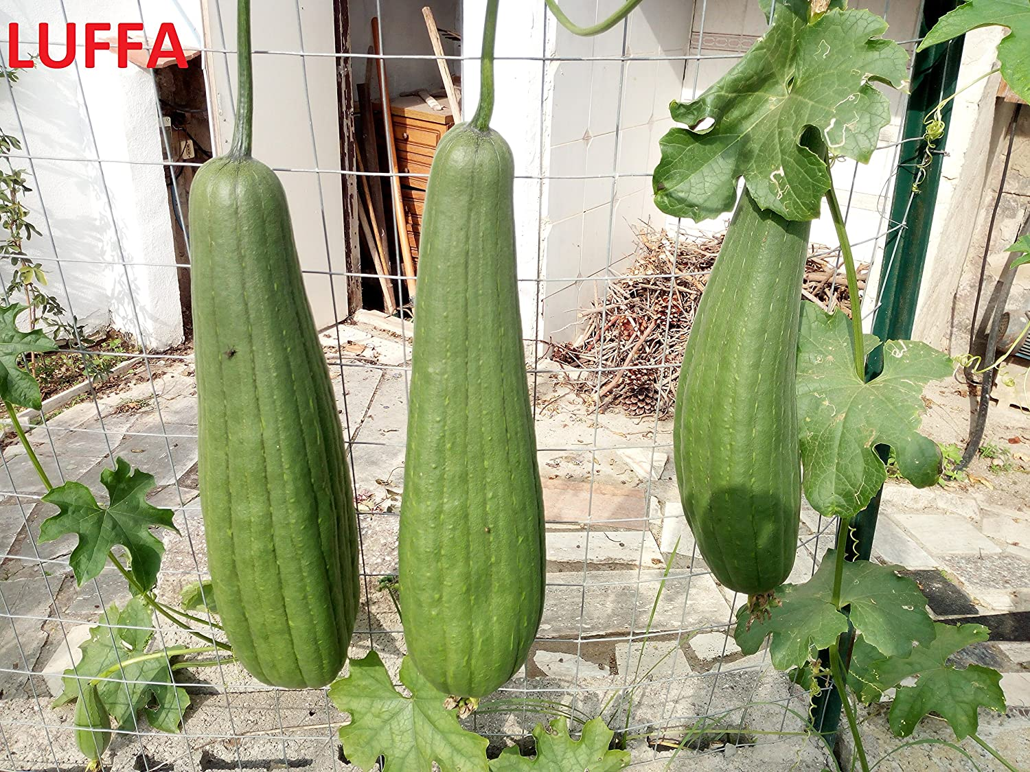 """Luffa Angled or Smooth Seeds Edible,Chinese okra,1 Pound Extra Long 33/"""" long"""