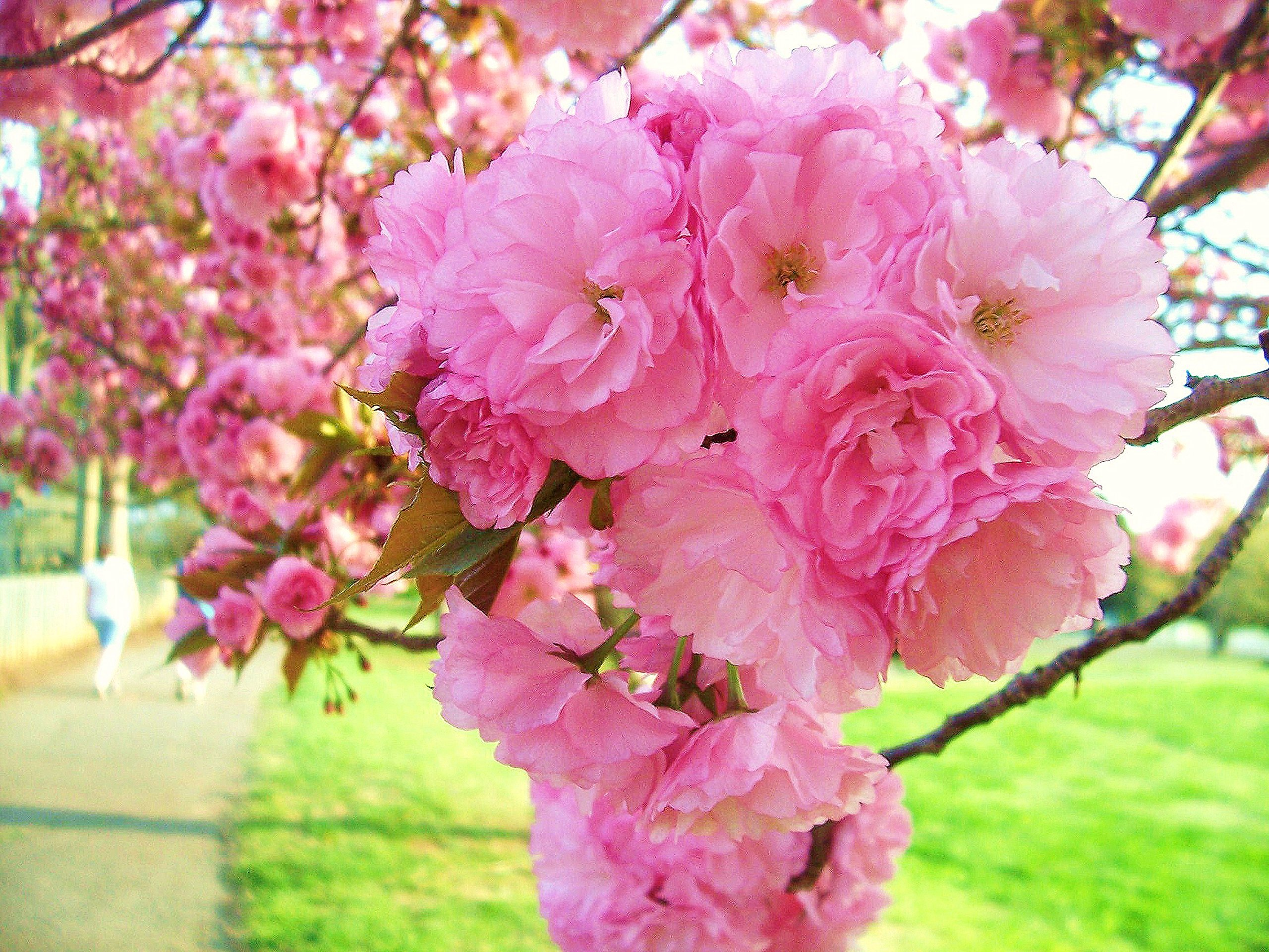 KWANZAN Cherry Tree - Double Flowers 2 - Year Live Tree by Japanese Maples and Evergreens (Image #3)