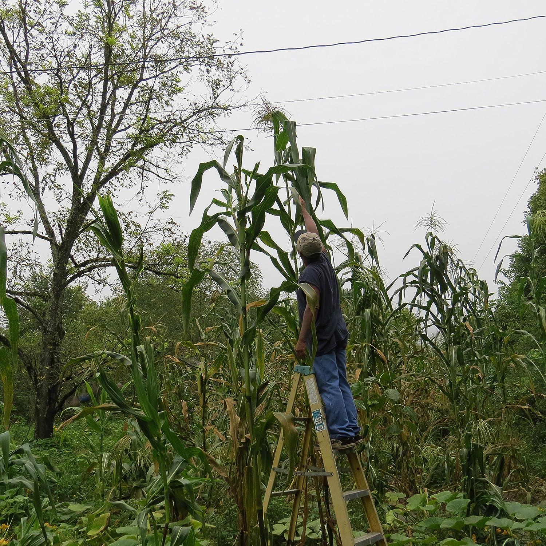 #1245RAREAMAZON GIANT YELLOW CORN35 SEEDSe-z grow12'-18' TALL Corn Bread#1245