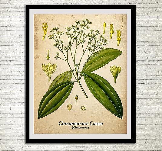 Amazon.com: Cinnamon Plant Print Spices Antique Botanical Home Decor ...