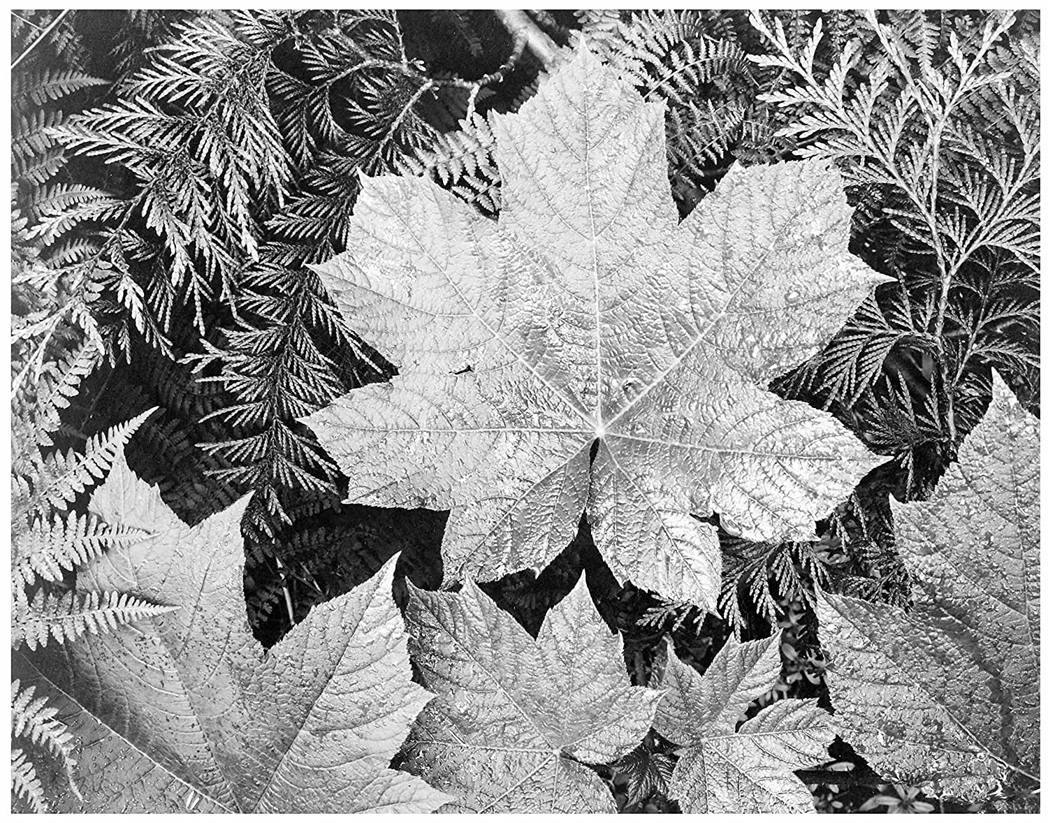 ArtDash® Ansel Adams by Studios. Iconic Black & White Photographs: (Leaves, 8