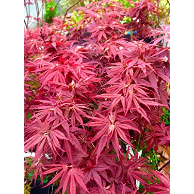 Pixie Dwarf Japanese Maple 2 - Year Live Tree : Garden & Outdoor