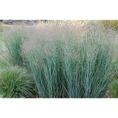 Panicum virgatum Heavy Metal SWITCHGRASS Seeds! : Garden & Outdoor