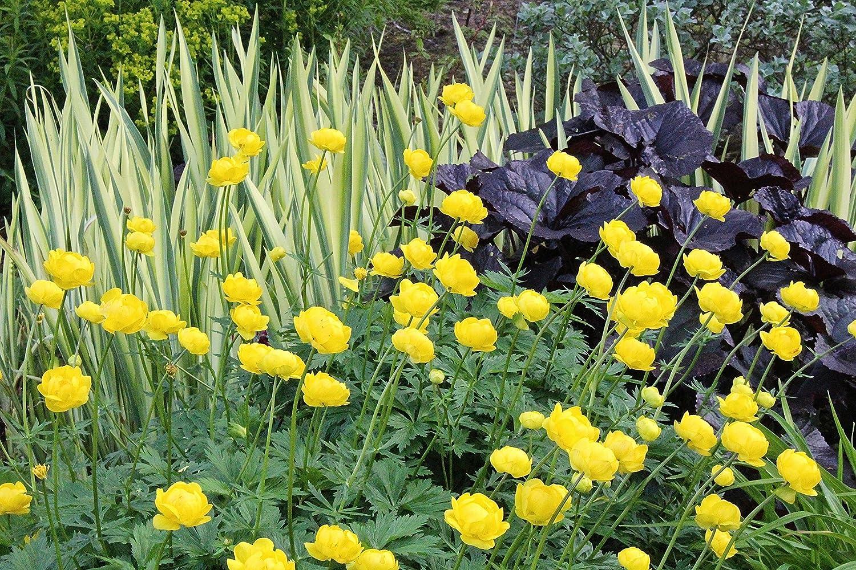 a garden tested hardy perennial plant Trollius x cultorum Lemon Queen ~ aka yellow globeflower