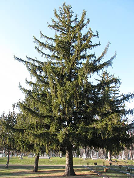 norway spruce picea abies healthy established roots 3 plants by growers solution