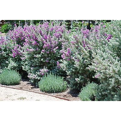 Texas Sage - 3 Live Plants - Leucophyllum Frutescens - Low Maintenance Drought Tolerant Flowering Shrub : Garden & Outdoor