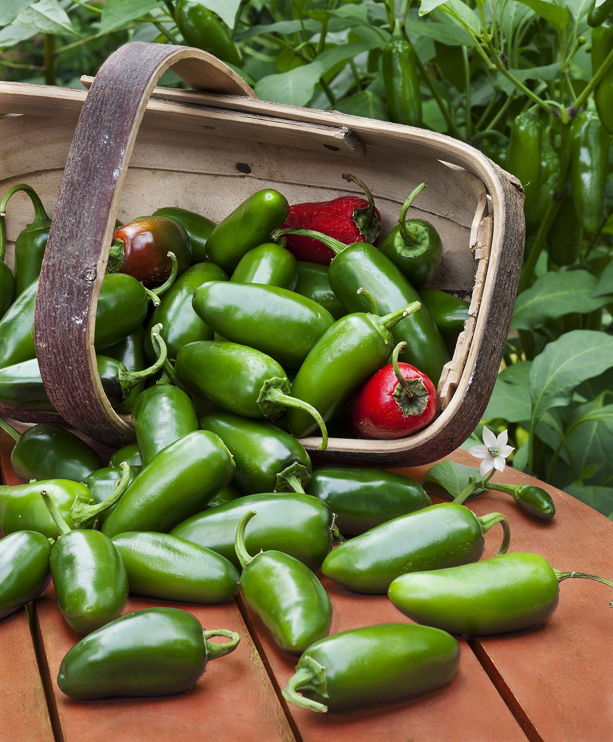 Bonnie Plants Jalapeno Hot Pepper Live Vegetable Plants - 4 Pack | Most Popular Chile Pepper | Non-GMO | 24 - 48 Inch Plants | 3 Inch Pepper Size by Bonnie Plants (Image #8)