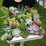 """Set of 10 Mixed Succulent Plants in 5.5cm (2.5"""") Pots, House Plants, Wedding Favours"""