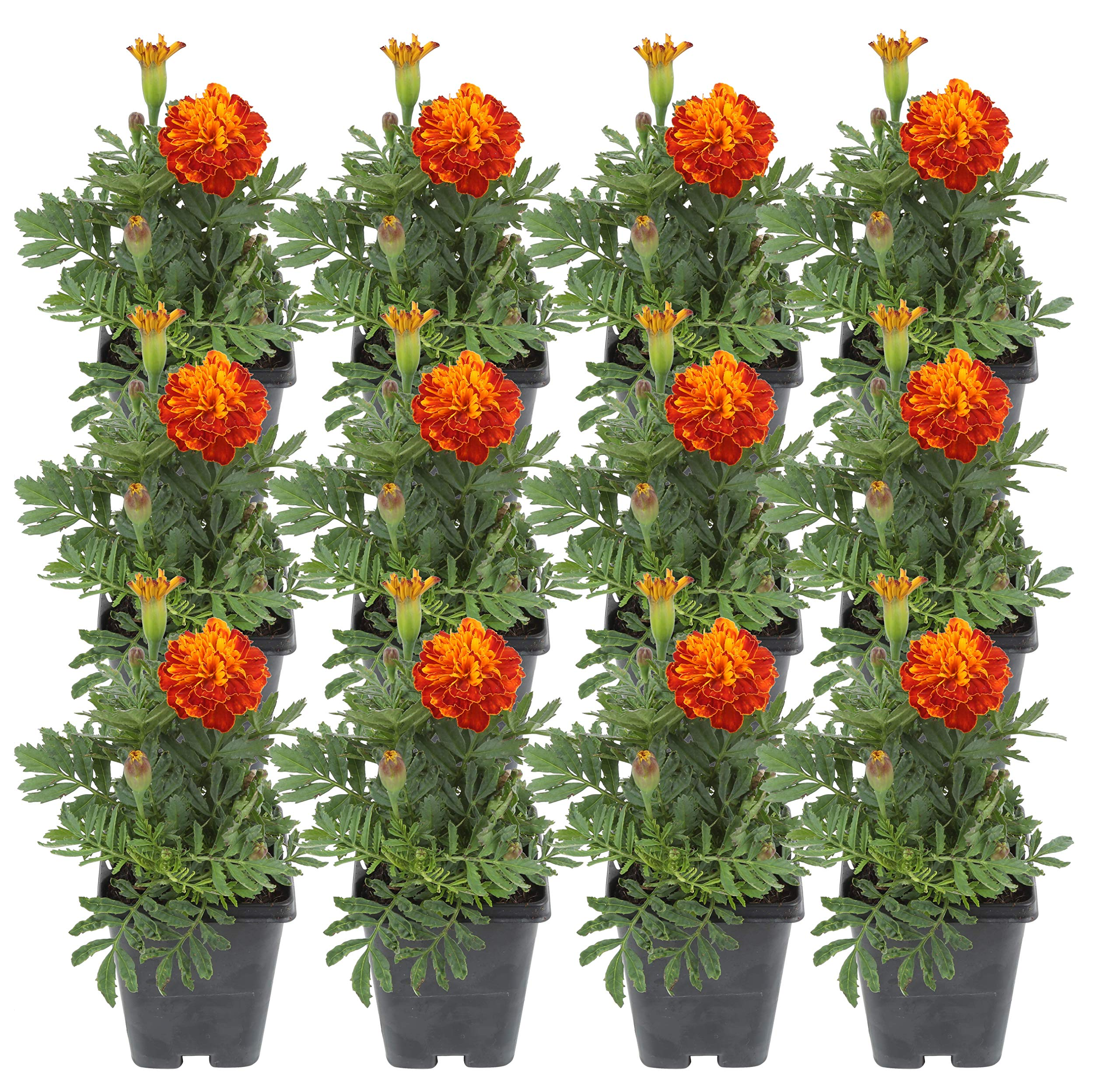 Costa Farms Marigold Live Outdoor Plant 1 PT Grower's Pot, 12-Pack, Orange