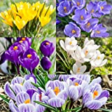 100 Crocus Bulbs In The Green / Mixed / White / Purple / Striped / Yellow / Blue / Spring Flowering Garden Bulbs / Crocus Plant With Snowdrops / FREE UK P&P (100, Mixed)