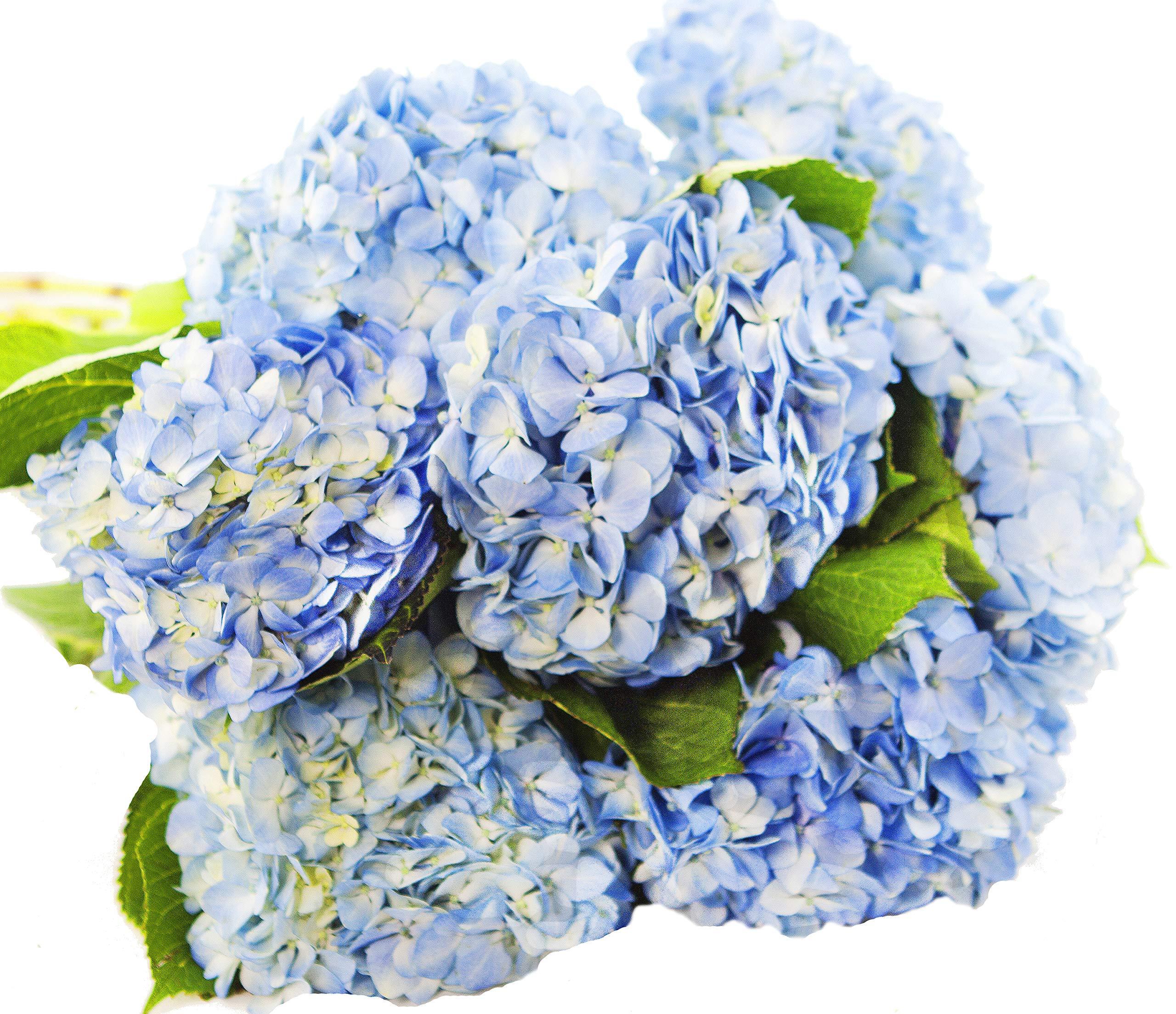Blooms2Door 30 Blue Hydrangeas (Farm-Fresh, Naturally Colored, Premium Quality) by Blooms2Door (Image #5)