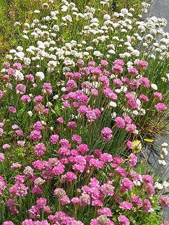 6 Pflanzen im 5//6 cm Topf Armeria maritima Grasnelke in weiß