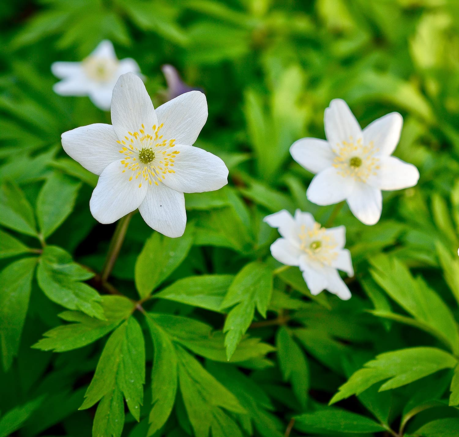 25 ENGLISH WOOD ANEMONE NEMOROSA Freshly-Lifted Spring Flowering Bulbs, Rhizomes Plant With Snowdrops & Bluebells (FREE UK P&P) Woodland bulbs