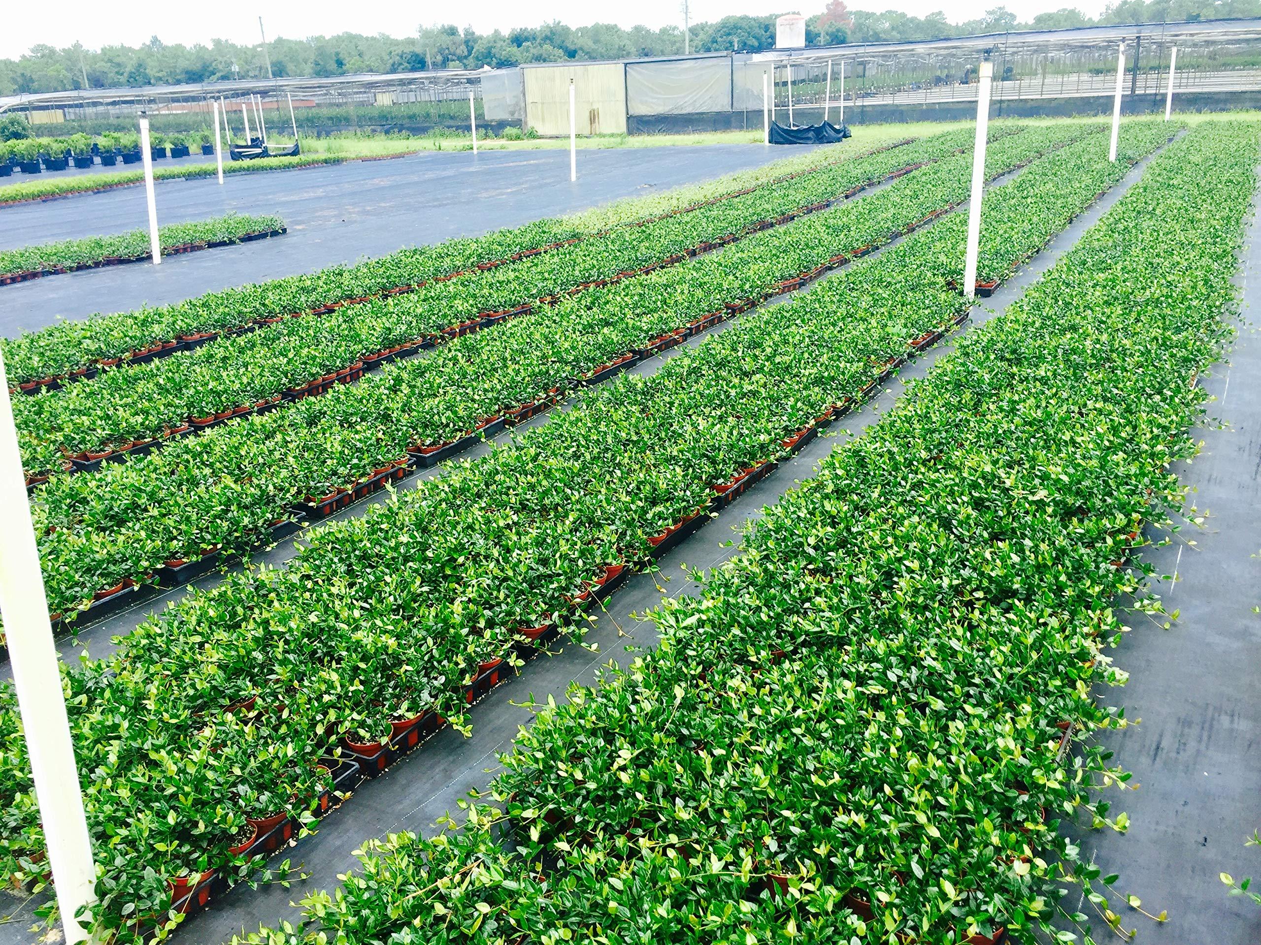 Asiatic Jasmine Minima - 15 Live Plants - 4'' Pot Size - Trachelospermum Asiaticum - Drought Tolerant Cold Hardy Evergreen Ground Cover