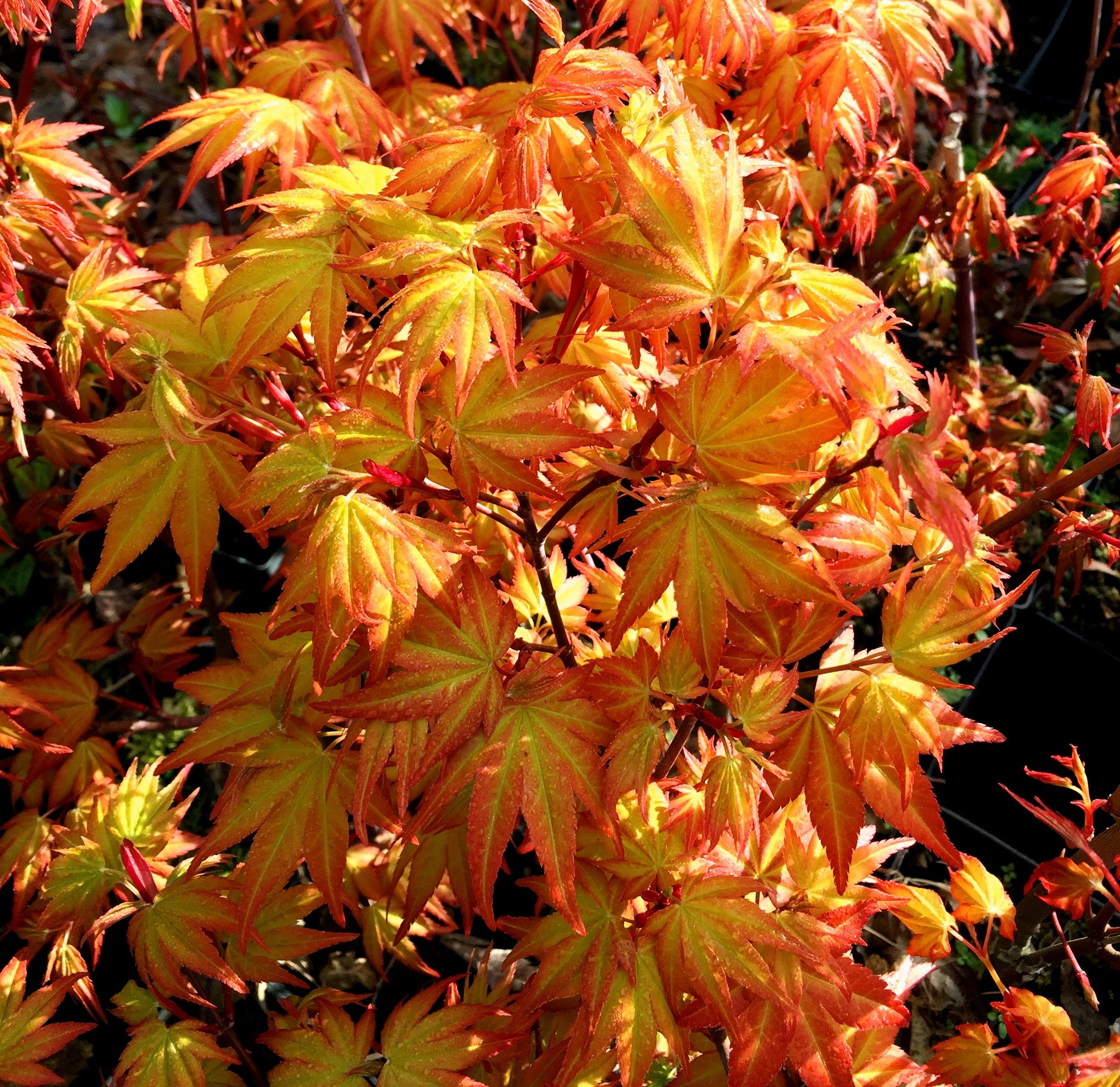 Akane Japanese Maple 2 - Year Live Plant