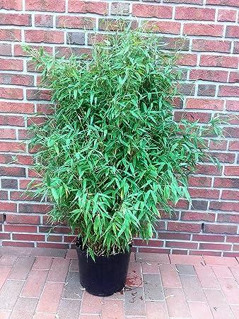 Bambus Hohe 150 160 Cm Fargesia Jumbo Winterharte Pflanze Fur