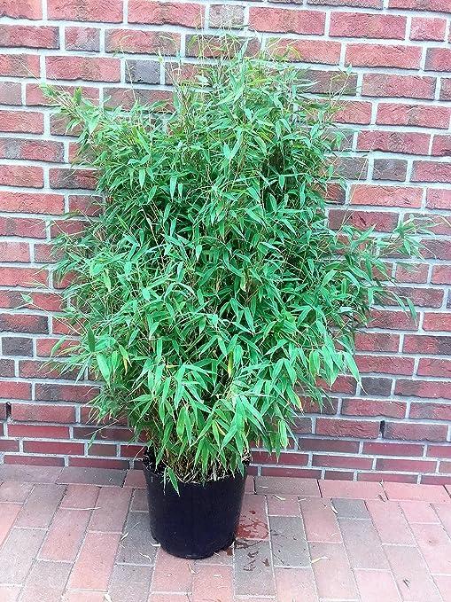 Gemeinsame Bambus, Höhe: 150-160 cm, Fargesia Jumbo, winterharte Pflanze für #AL_52