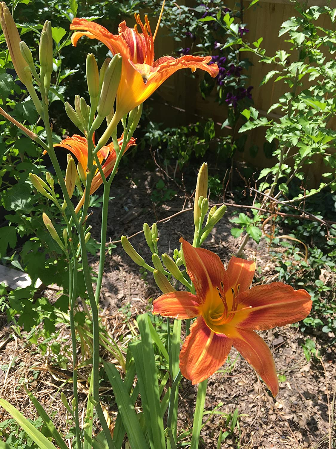 Ditch Lily Wild Daylily Bulbs 100 Root Systems Orange Daylily Bulbs