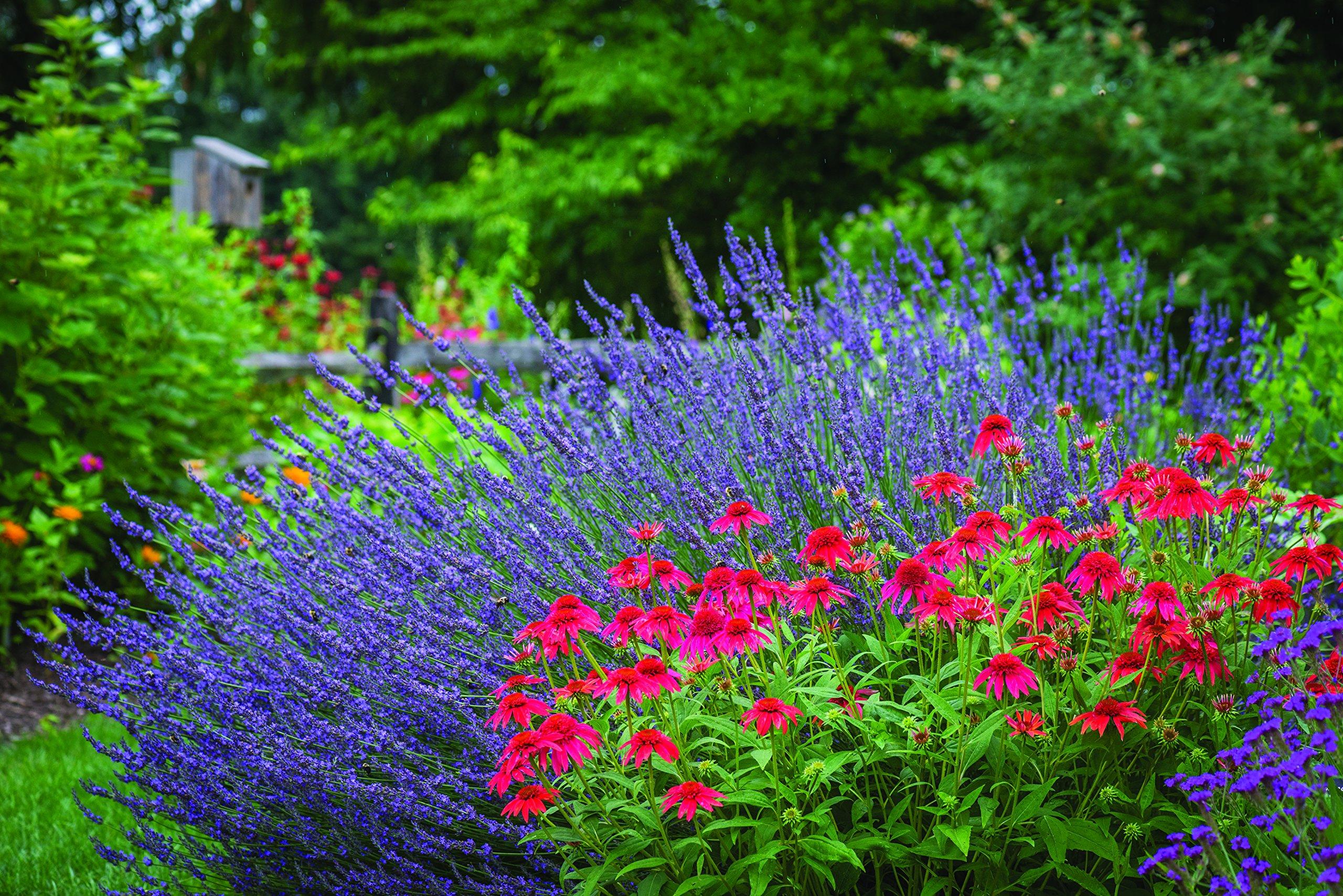 Burpee Perennial Lavender 'Phenomenal', 4'' pots, 4 plants, Fragrant, Evergreen, Pollinator Friendly