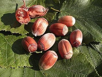 Rote Haselnuss /'Maxima purpurea/' Corylus avellana Winterharte Pflanze 80-120cm