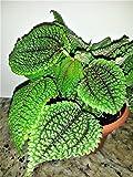 """PILEA - FRIENDSHIP PLANT - MOON VALLEY - 2 PLANTS - 3"""" pots"""
