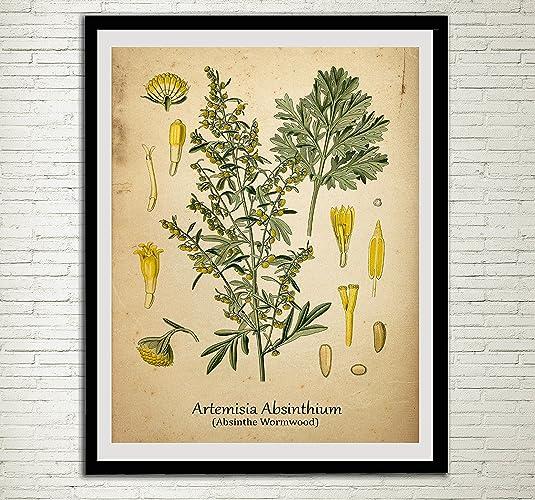 Amazon.com: Absinthe Wormwood Drug Plant Print Toxic Alcohol Antique ...