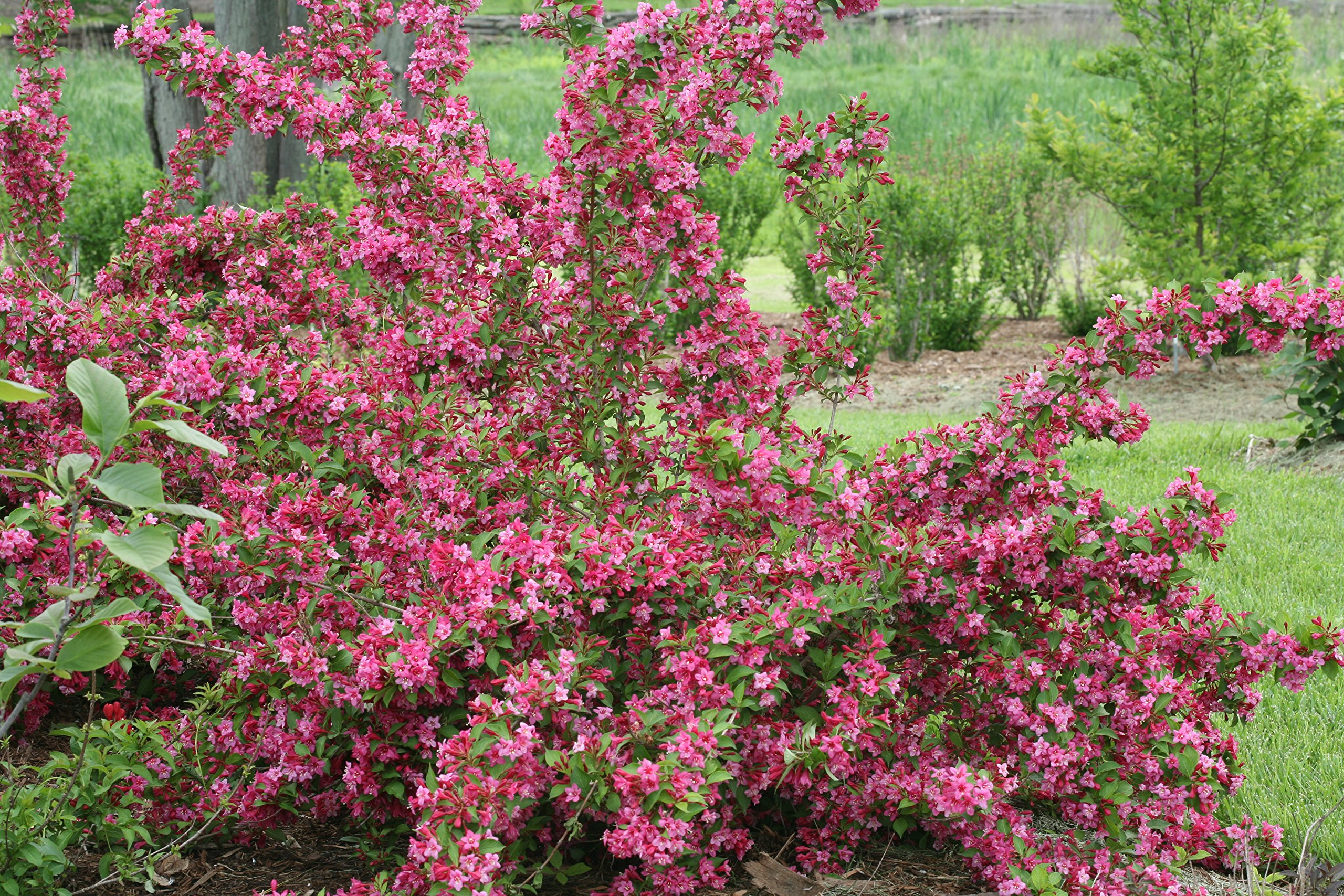 Proven Winners - Weigela Flordia Sonic Bloom Pink (Reblooming Weigela) Shrub, Pink Flowers, #3 - Size Container by Green Promise Farms (Image #2)