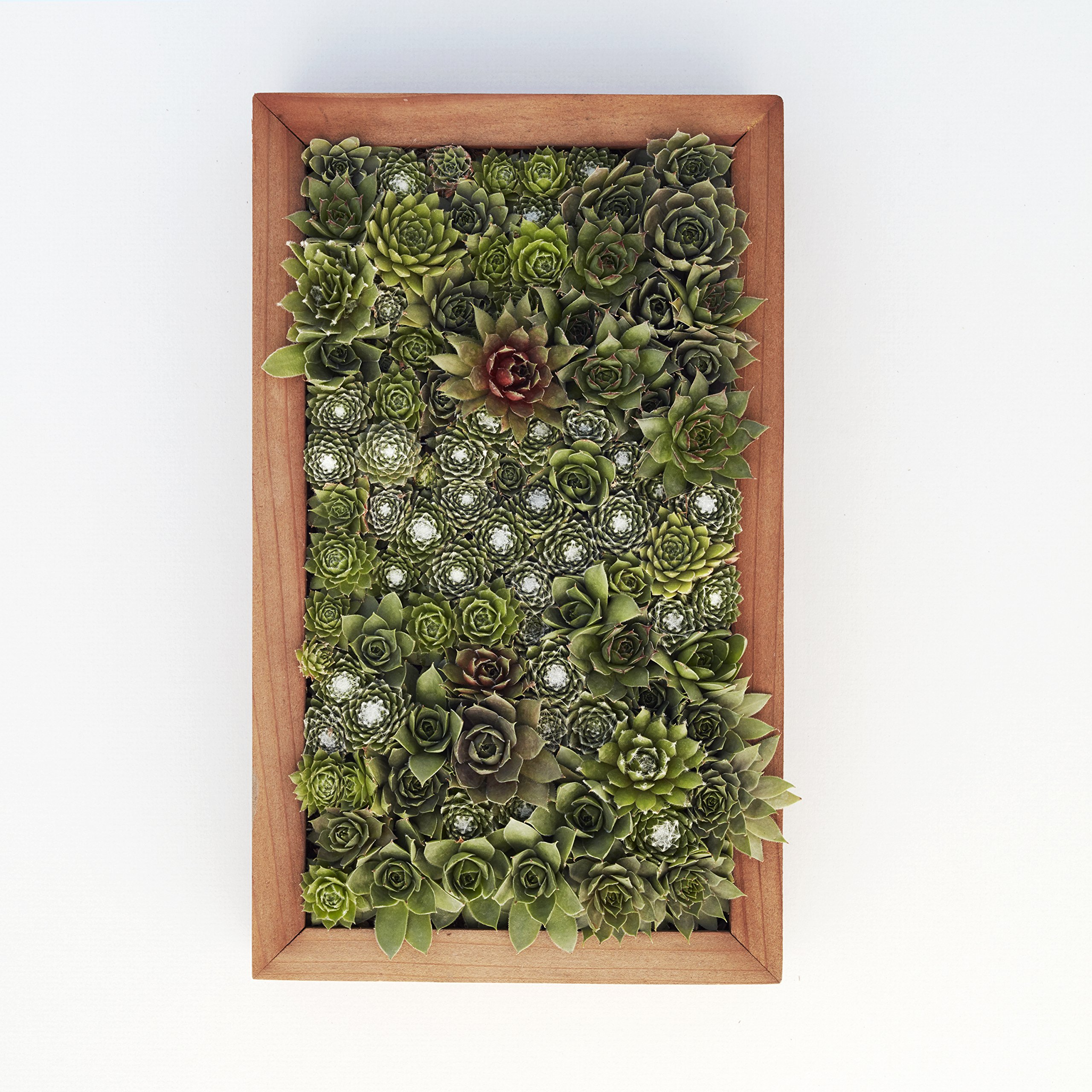 Succulent Gardens Medium Living Picture Planter DIY Kit, 6'' x 12'' Frame, Multicolor by Succulent Gardens (Image #6)
