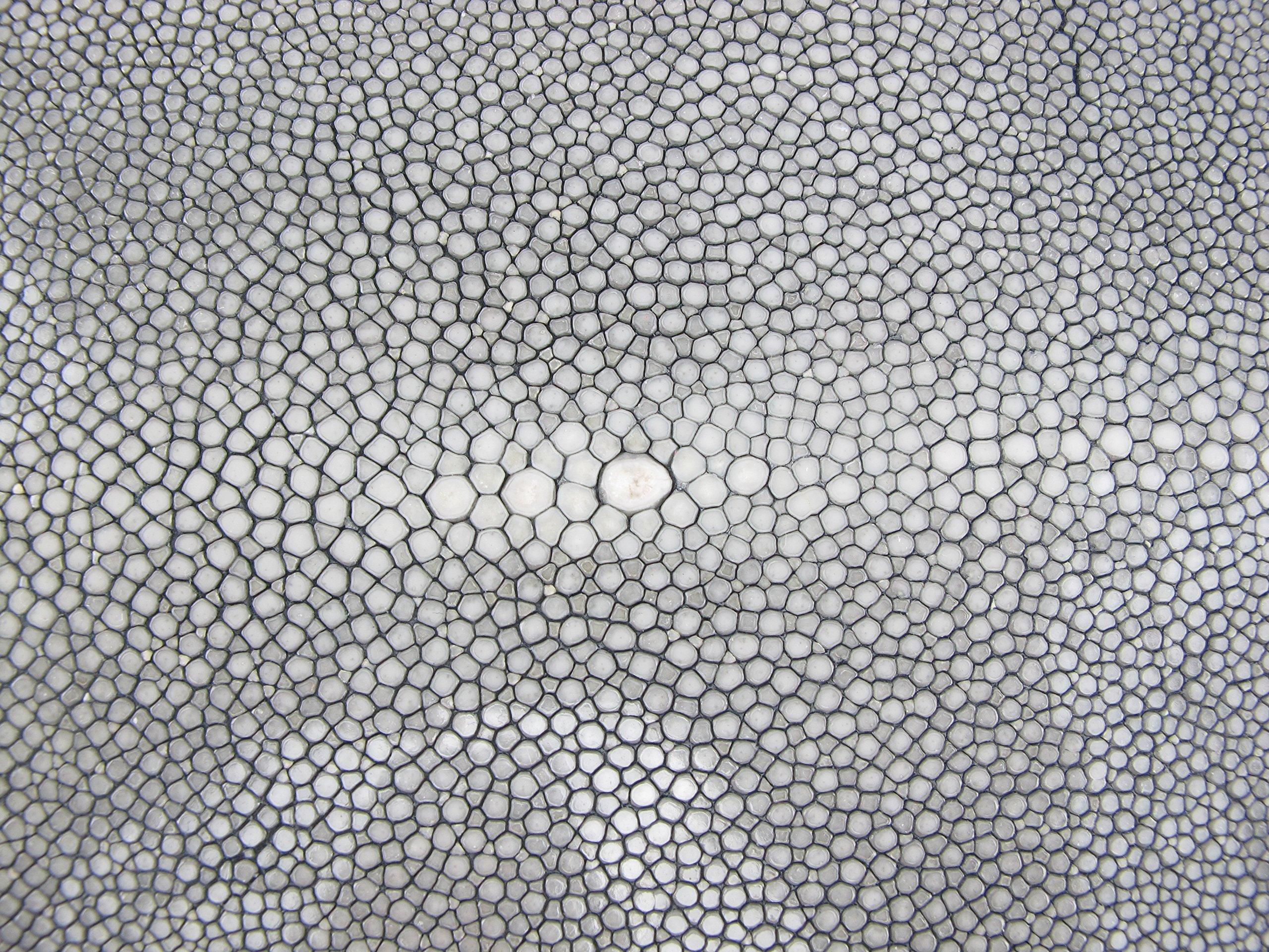 PELGIO Genuine Polished Stingray Skin Leather Hide Pelt Grey (7'' x 16'') by Pelgio (Image #2)