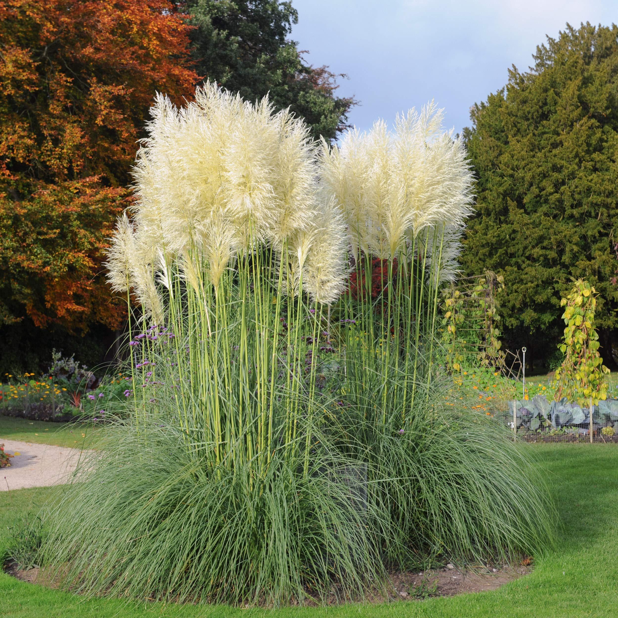 WHITE PAMPAS ORNAMENTAL GRASS Over 1,000 SEEDS
