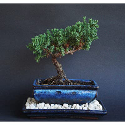 Over 5 Years Old Juniper Indoor Bonsai Tree with Natural Rock and Tray : Bonsai Plants : Grocery & Gourmet Food