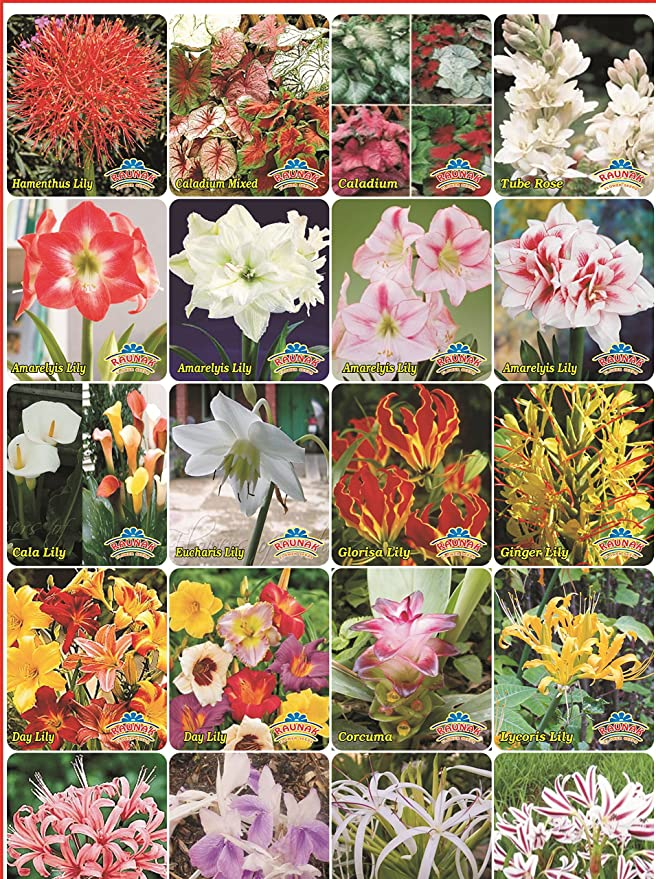 Super Agri Green Winter Flower Bulbs 3 Types Of Mixed Lilies And 6 Winter Flower Seeds (10 Bulbs+6 Seeds Combo Pack-Pots Variety) Bulbs at amazon