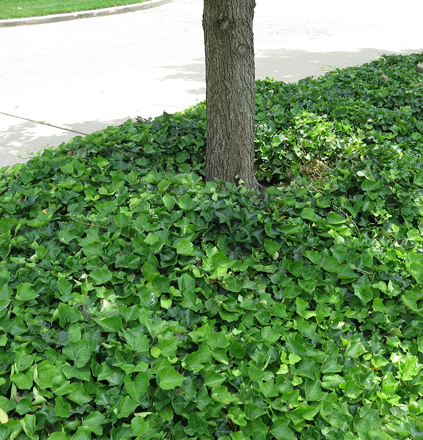 English Ivy Hedera helix Groundcover - 200 Bare Root Plants on cakes with designs, outdoor screens with designs, portraits with designs, walls with designs, flower pots with designs,
