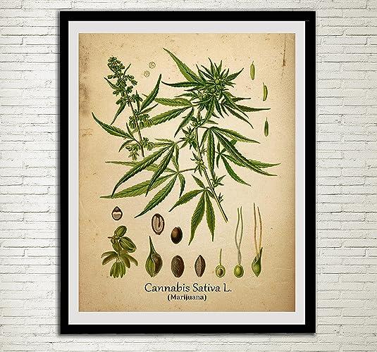Amazon.com: Cannabis Drug Plant Wall Art Print Antique Botanical ...