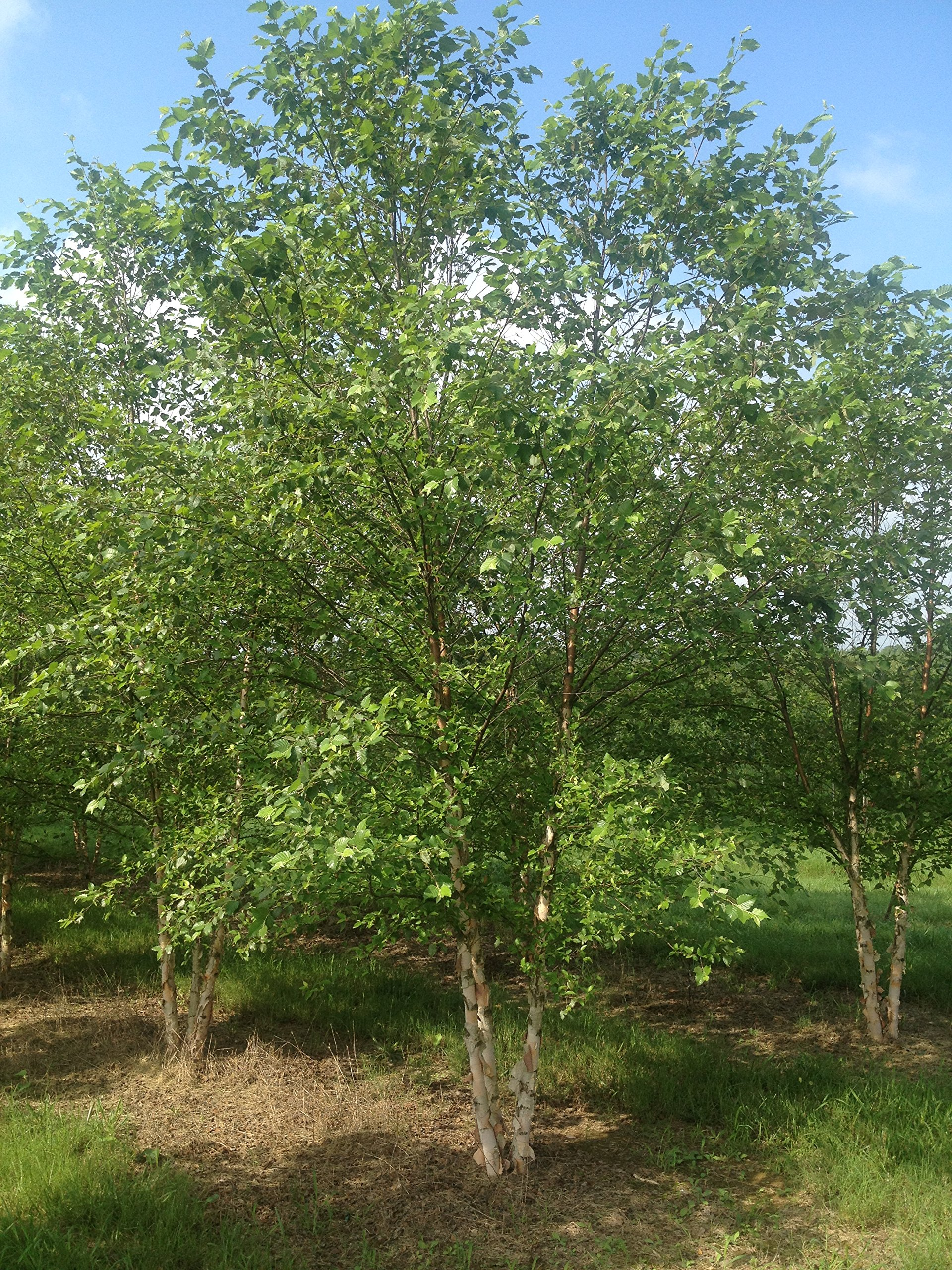 River Birch Tree Betula nigra Multi-trunked Established Roots - 1 Trade Gallon Potted - by Growers Solution