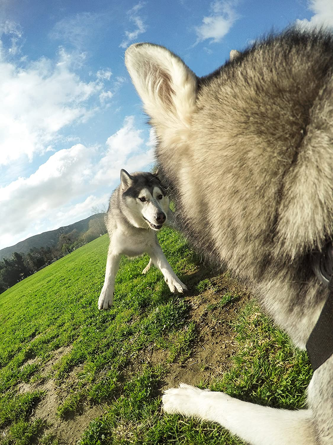Dog Camera Shooting during Dog fight or play by GoPro, Available on Amazon
