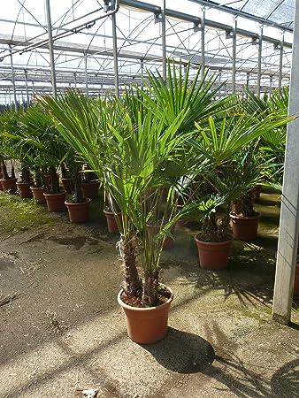 Winterharte Palme Trachycarpus Fortunei 170 Cm Multistamm
