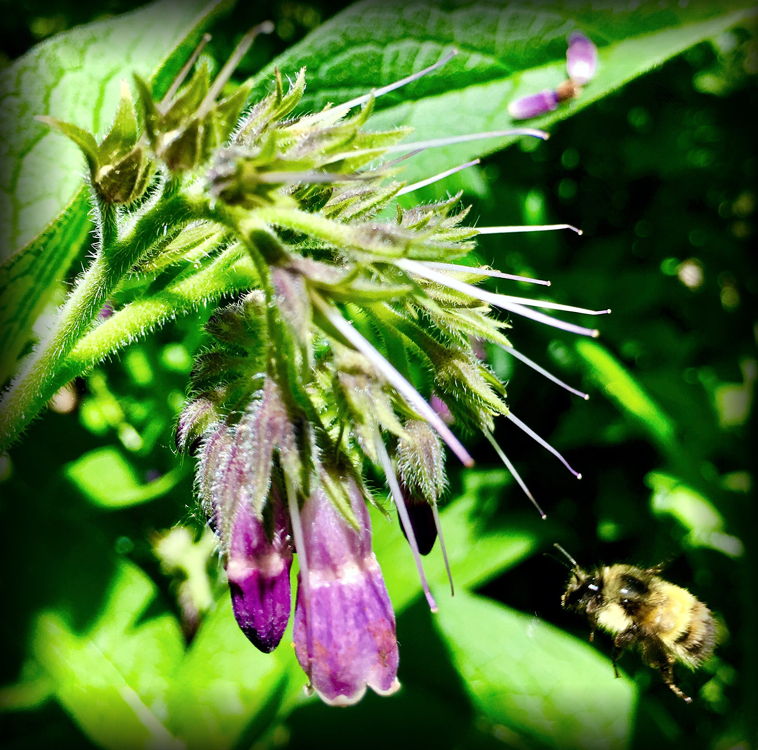 Russian Comfrey Bocking-14 Cultivar, 12 Cuttings for Growing Your Own Medicinal Salve, Compost Tea & Animal Fodder by Verdant Treasures