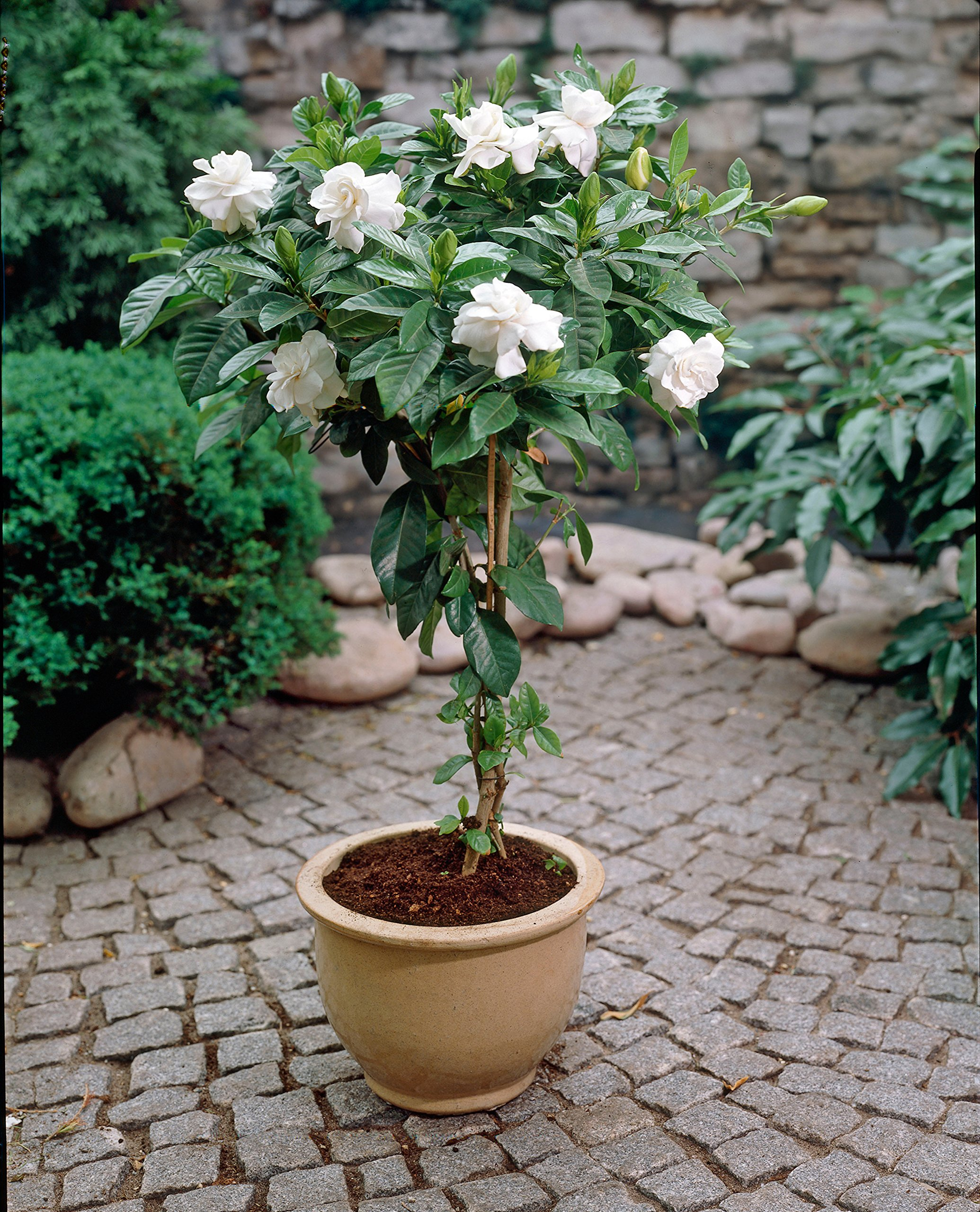 Double Blooming Gardenia Tree - Large Trees, Ready to Bloom 1st Year! - 3-4 ft. | No Shipping to AZ by Brighter Blooms (Image #3)