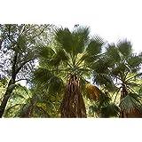 25 graines - WASHINGTONIA FILIFERA - Palmier résistant
