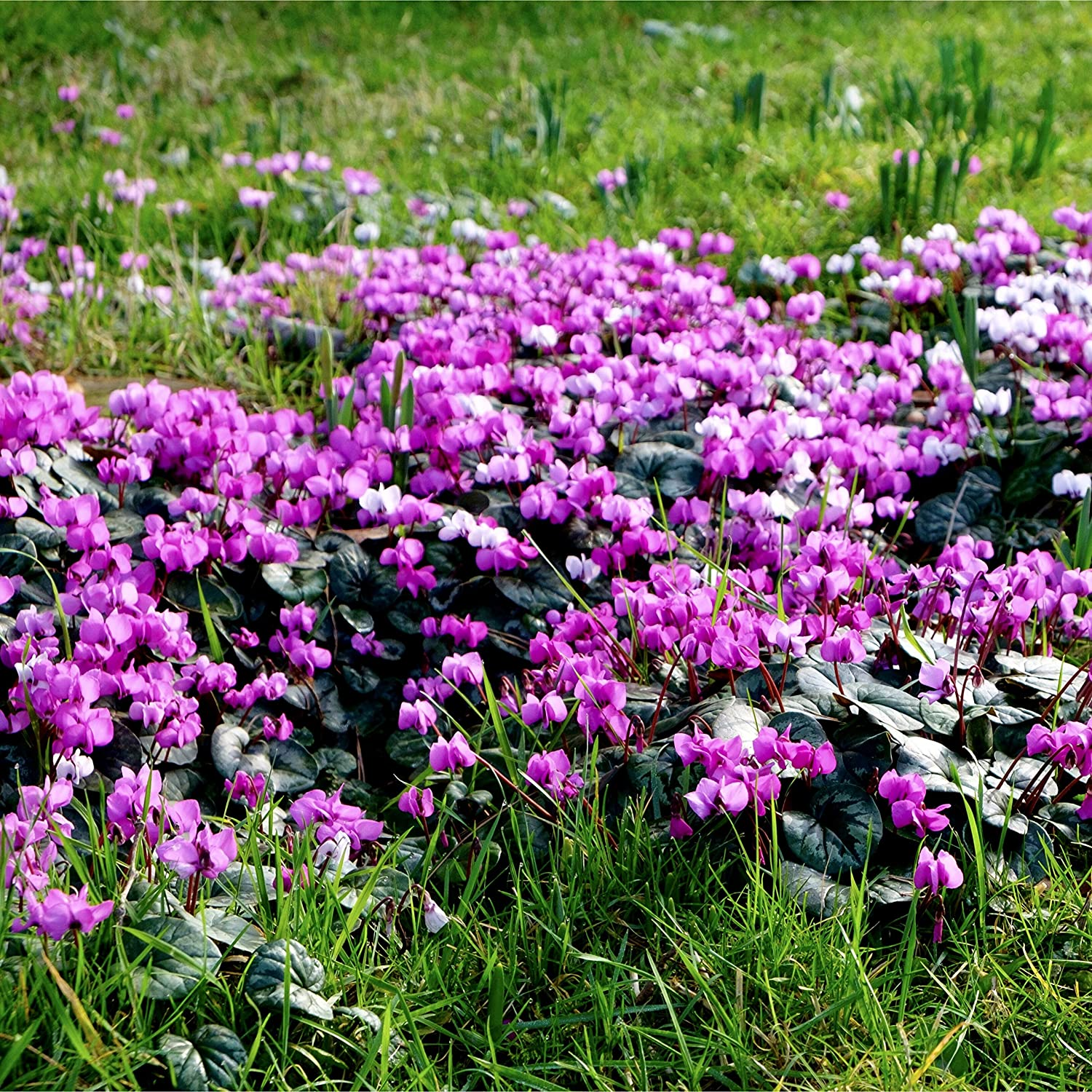 Woodland bulbs/® /'Hardy/' 10 x Cyclamen Coum Plant with Snowdrop Bulbs Early Spring Flowering Bulbs//Corms Free UK P/&P