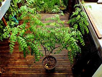 Curry Leaf Tree Bergera Koenigii L Mature Plant In 10l