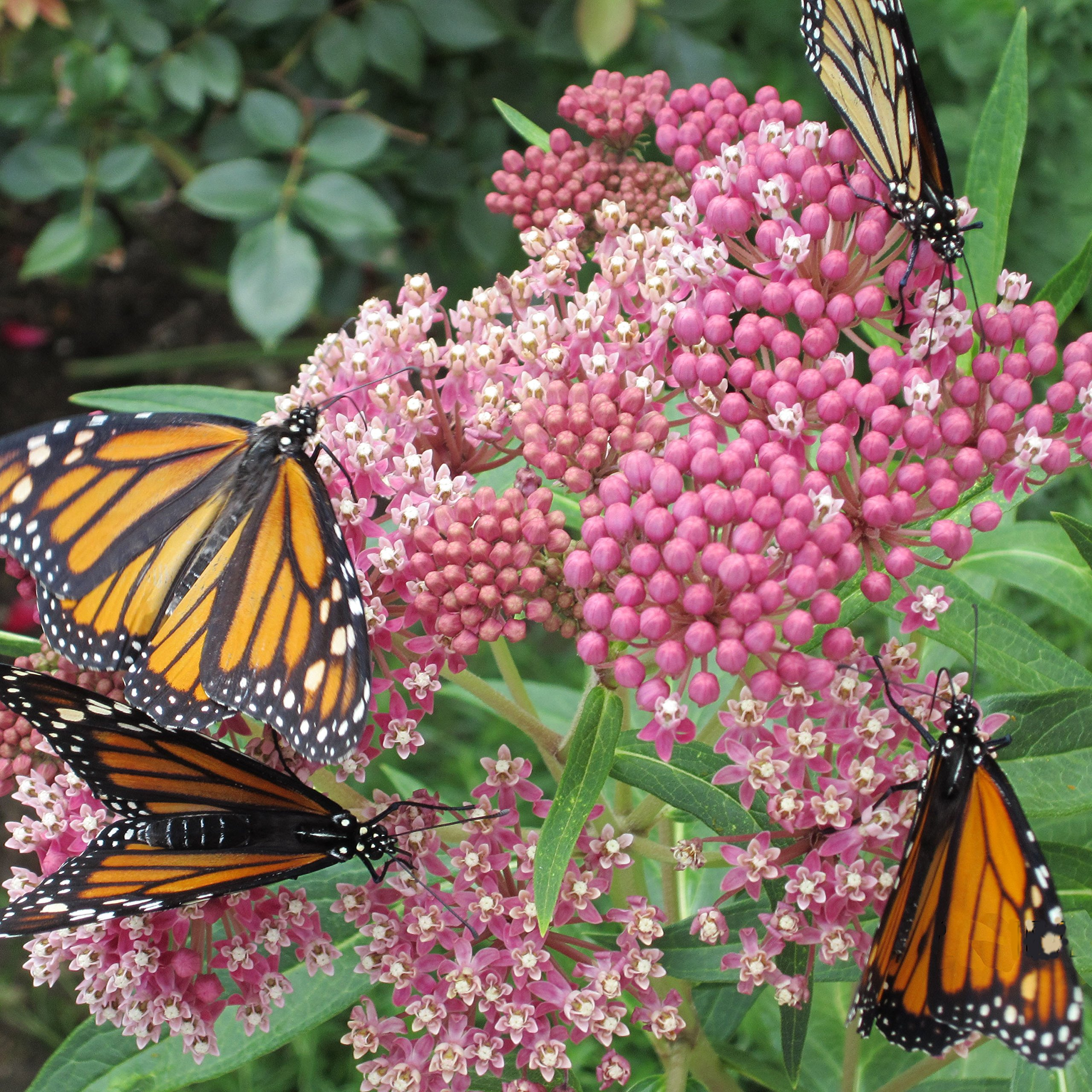 Swamp Milkweed Seed Balls for Fall Planting (Asclepias incarnata) (20) by Seed-Balls.com